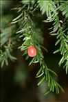 Photo 2/4 Taxus baccata L.