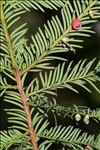 Taxus baccata L.
