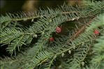 Photo 1/4 Taxus baccata L.