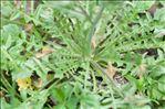 Teesdalia nudicaulis (L.) R.Br.