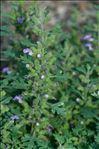 Photo 1/1 Teucrium botrys L.