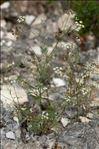 Photo 3/3 Torilis arvensis (Huds.) Link