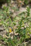 Torilis nodosa (L.) Gaertn.