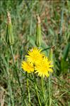 Photo 2/3 Tragopogon pratensis L.