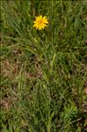 Photo 1/3 Tragopogon pratensis L.