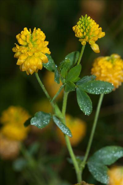 Trifolium aureum Pollich
