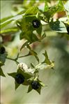 Photo 2/4 Atropa belladonna L.