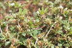 Trifolium scabrum L.