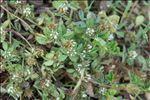 Photo 1/2 Trifolium scabrum L.