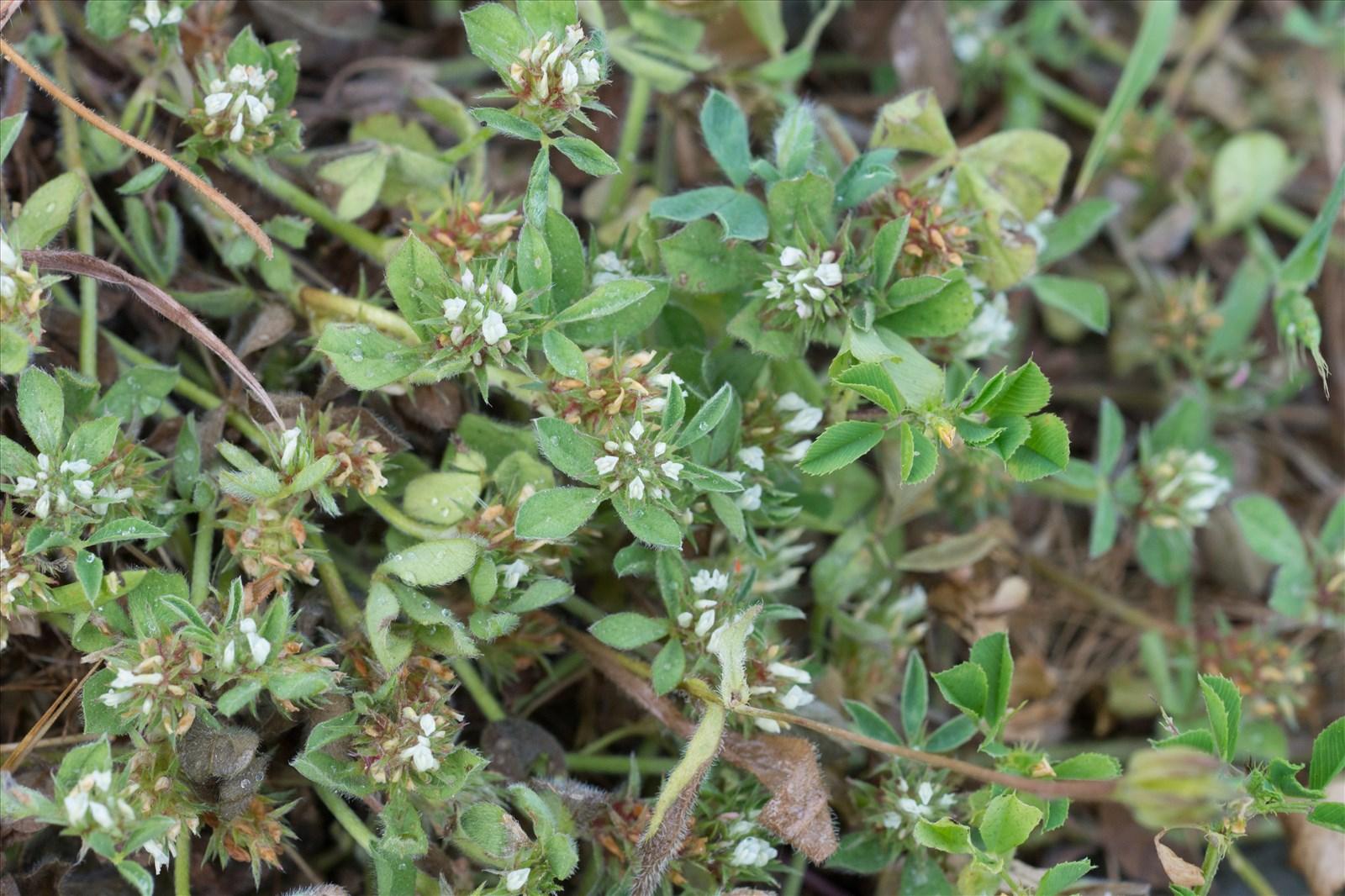 Trifolium scabrum l for Plantes par internet
