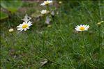 Tripleurospermum inodorum (L.) Sch.Bip.
