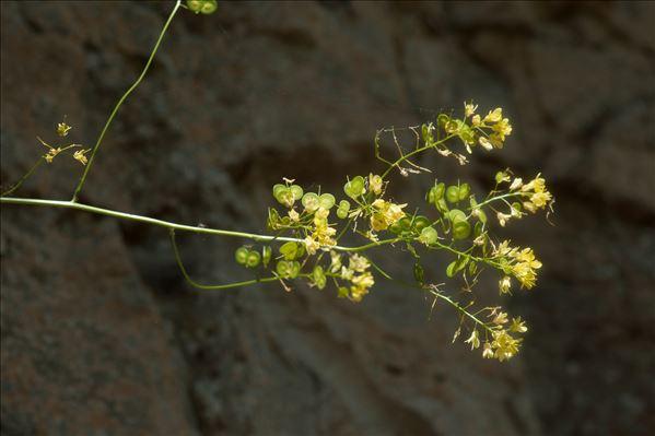 Biscutella lima Rchb.