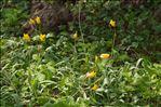 Photo 1/5 Tulipa sylvestris L.