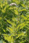 Photo 2/2 Tanacetum macrophyllum (Waldst. & Kit.) Sch.Bip.
