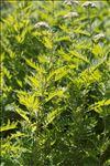 Photo 1/2 Tanacetum macrophyllum (Waldst. & Kit.) Sch.Bip.