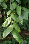 Photo 11/11 Ulmus laevis Pall.