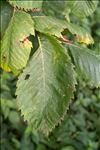 Photo 10/11 Ulmus laevis Pall.