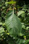 Photo 9/11 Ulmus laevis Pall.