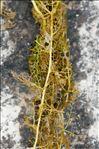 Photo 4/6 Utricularia australis R.Br.