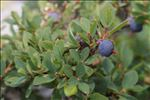 Photo 6/8 Vaccinium myrtillus L.