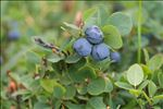 Photo 5/8 Vaccinium myrtillus L.