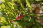 Photo 1/8 Vaccinium myrtillus L.