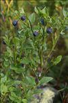 Photo 3/8 Vaccinium myrtillus L.