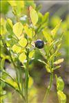 Photo 2/8 Vaccinium myrtillus L.