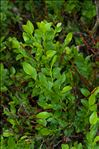 Photo 8/8 Vaccinium myrtillus L.