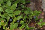 Vaccinium myrtillus L.