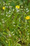 Photo 1/1 Valerianella dentata (L.) Pollich