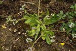 Valerianella locusta (L.) Laterr. f. locusta