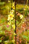 Photo 2/2 Verbascum virgatum Stokes