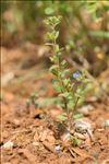 Photo 3/3 Veronica acinifolia L.