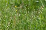 Photo 2/3 Avenula pubescens (Huds.) Dumort.
