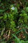 Photo 1/2 Veronica arvensis L.