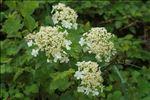 Photo 2/3 Viburnum opulus L.