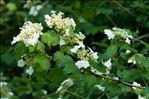 Photo 3/3 Viburnum opulus L.