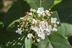 Photo 1/1 Viburnum tinus L.