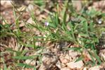 Photo 5/5 Vicia bithynica (L.) L.