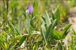 Photo 2/5 Vicia bithynica (L.) L.