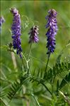 Vicia cracca L.