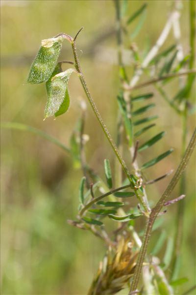 Ervilia hirsuta (L.) Opiz