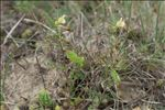 Photo 2/7 Vicia lutea L.