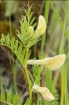 Photo 5/7 Vicia lutea L.