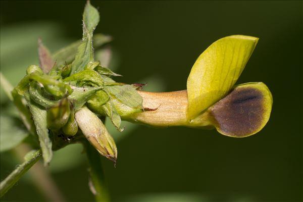 Vicia melanops Sibth. & Sm.