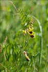 Photo 2/2 Vicia melanops Sibth. & Sm.