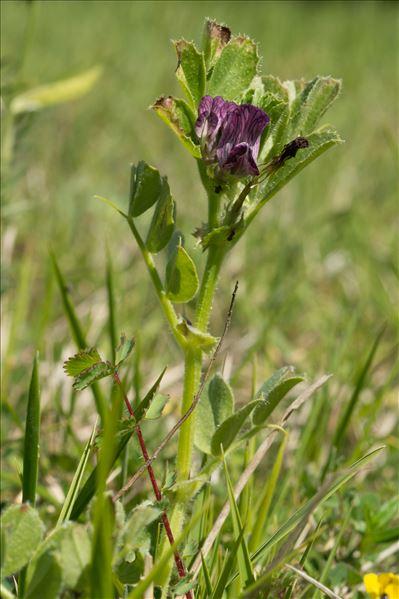 Vicia serratifolia Jacq.
