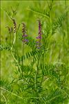 Photo 4/4 Vicia tenuifolia Roth