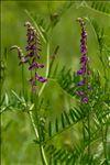 Vicia tenuifolia Roth